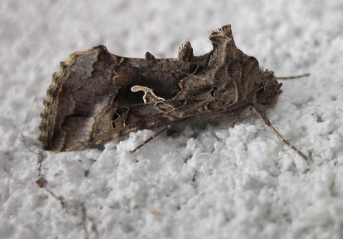papillon nocturne plusia autographa gamma