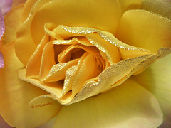 A Rose Kiss photo by Steve Taylor (Photography)
