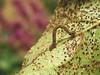 chenille papillon de nuit Idaea