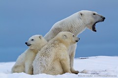 Polar Bear Family photo by David Swindler (ActionPhotoTours.com)