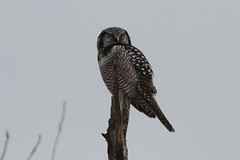 Northern Hawk Owl, Waterbury Center, VT 12/21/13 photo by Larry Scacchetti