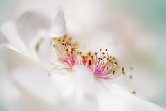 Rosa 'jacqueline Du Pre' photo by Jacky Parker Floral Art