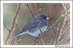 Junco - Explore 2013-12-04 photo by Summerside90