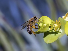 Feeding Bee photo by charles25001