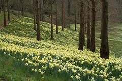 A host of golden daffodils photo by Graham Dash