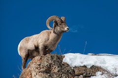 Ridge Ram photo by dbushue
