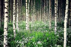 Birches photo by Nuuttipukki
