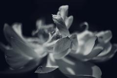 forgotten lotus photo by amy buxton