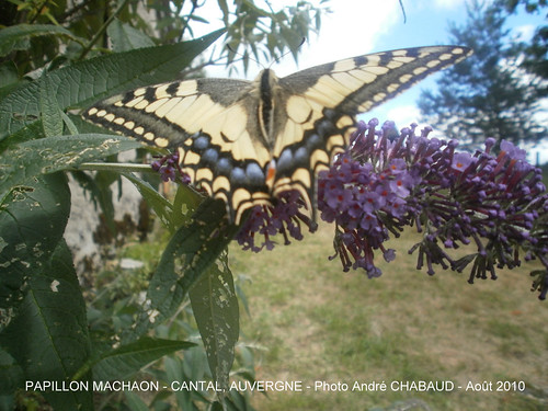 PAPILLON MACHAON 2