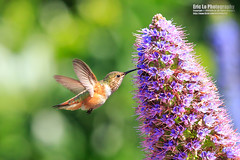 hummingbird photo by Eric 5D Mark III