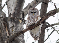 Barred Owl on Watch photo by Bill McMullen