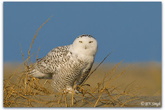 Snowy Owl photo by BN Singh
