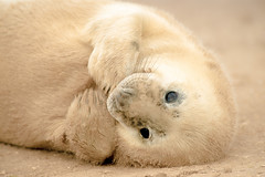 Seal Pup photo by Old-Man-George