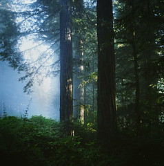where the redwoods grow: part three photo by manyfires