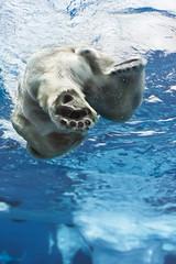 Polar Bear photo by William T Hornaday