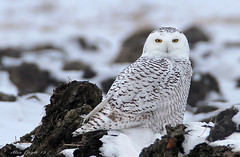 Harfang des neiges / Snowy Owl photo by Alain Daigle