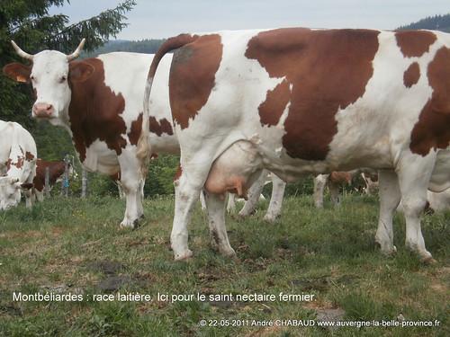 Montbéliardes-Cantal-3
