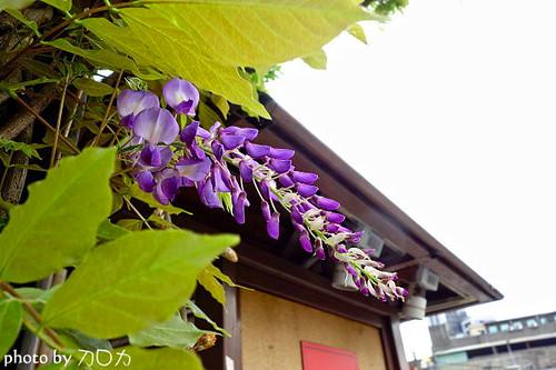24_台北士林社子台北花卉村紫藤花