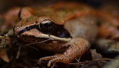 The Copper Frog photo by miles smile ( AWAY )
