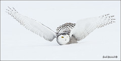 Yup, more Snowy Owls photo by Earl Reinink