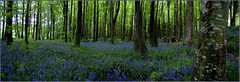 Bluebell wood photo by HEFFO1