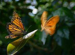 When butterflies attack! photo by Art Walaszek
