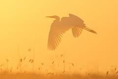 Great Egret photo by www.studebakerstudio.com