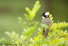 白頭鵯 Light-vented Bulbul (Pycnonotus sinensis) photo by Samson So 生態協會 Eco Institute