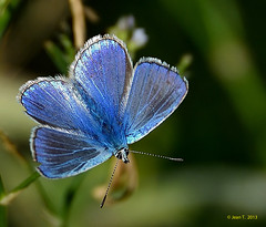 Bleu nordique  ♂ / Northern Blue photo by anjoudiscus