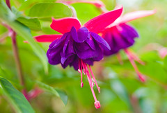 Fuchsia photo by Mal Urwin