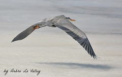 Great Blue Heron photo by dlv1