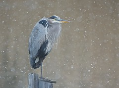 Dejected Blue Heron in the Snow Today photo by Kitty Kono