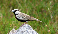 Ashy-crowned Sparrow Lark photo by ranju10