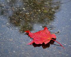 Autumn Leaf and Rain photo by NikonGirl1969
