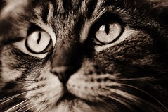 DIVA. Cat portrait photo by miles smile