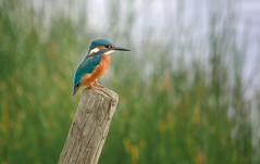 Kingfisher (Memories Of Summer) photo by Osgoldcross Photography