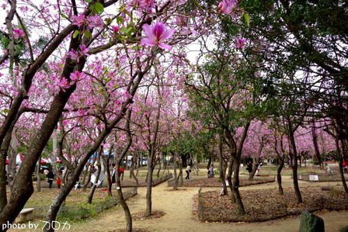23_台南公園羊蹄甲