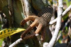 Kimodo Dragon Claw photo by tomfielding