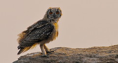 Indian Eagle Owl photo by New NewEnglander