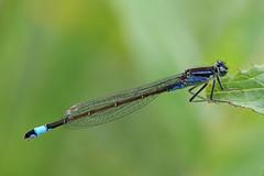 Violacea photo by klythawk