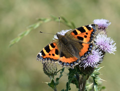 SMALL TORTOISESHELL photo by n.j.coomber