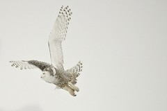 Snowy Owl photo by Jamie McCaffrey