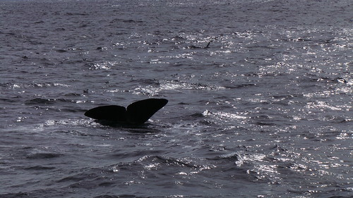 2013-0721 814 Andenes tweede duik walvis 37