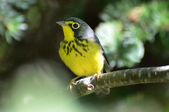 Canada Warbler: Getting Closer photo by PeterBrannon