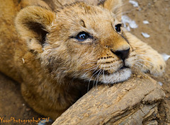 Lion Cub photo by Wayne Horsley