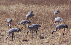 Sandhill cranes at Bosque del Apache 2