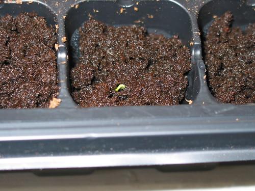 seedling just poking up