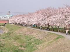 Cherry Blossom #6