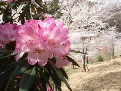 石楠花&桜