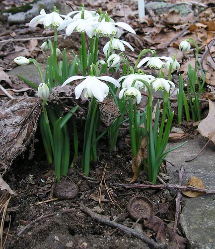 snowdrops April 2006